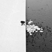 A Man Feeding Swans in the Snow - 1.